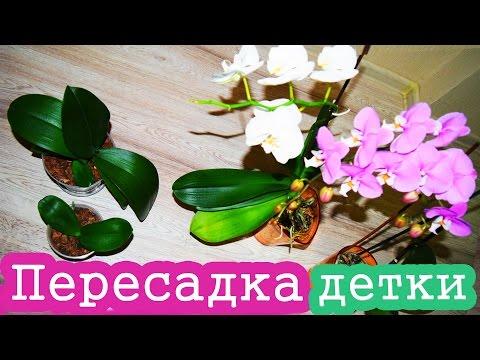 Пересадка детки орхидеи / Как пересадить орхидею
