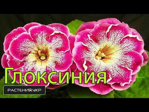 Глоксиния уход в домашних условиях / Многолетние цветы