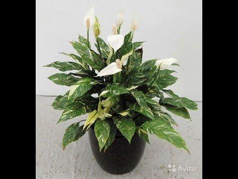 Спатифиллум Spathiphyllum, Женское счастье, уход и выращивание!