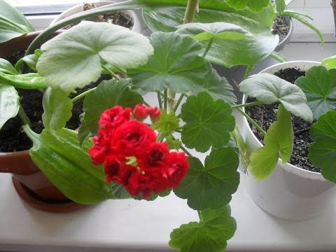 Использование Йода для Герани( Пеларгонии) для пышного цветения