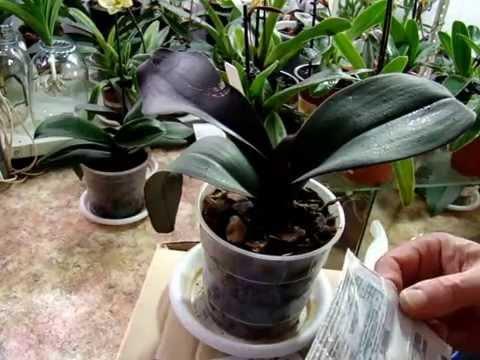 Болезни орхидей - 1. Орхидеи - Фалинопсис, Ванда, Мильтония, Дендробиум, Камбрия, Цимбидиум.