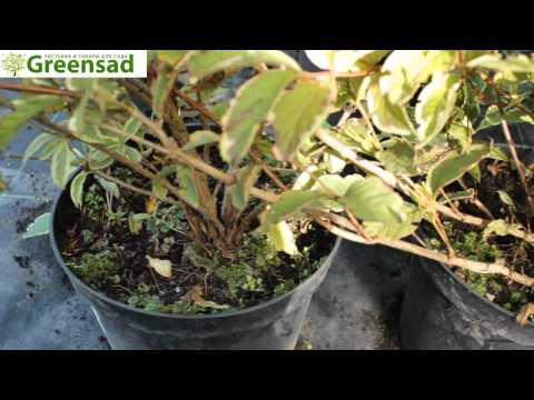 "Вейгела ""Nana Variegata"" - видео-обзор от Greensad"