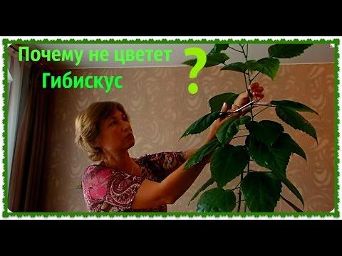 Гибискус (Китайская роза). Как размножить гибискус. Обрезка гибискуса.