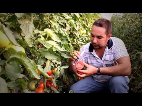 Как вырастить томаты ( помидоры) в теплице? Выращивание овощей в закрытом грунте ( в теплицах)