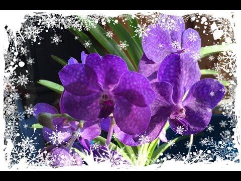 Орхидея ВАНДА - Зимний уход🌺❄️💕