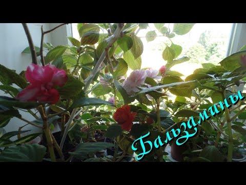 Бальзамин комнатный красота цветения как ухаживать