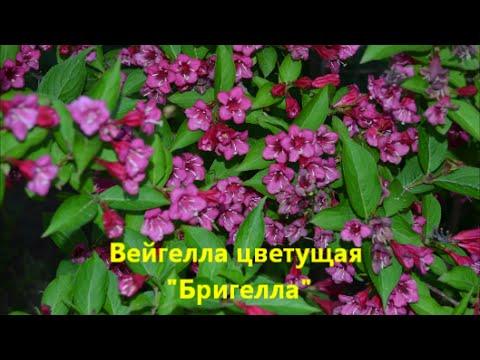 Кустарники которые цветут ранней весной-Вейгела