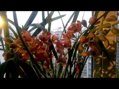 Мой уход за орхидеей Цимбидиум