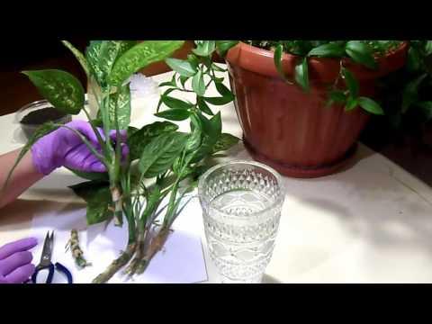Размножение диффенбахии черенками. Reproduction dieffenbachia cuttings