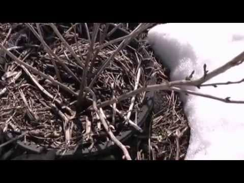 Обработка кустов черной смородины ранней весной кипятком (обливание горячей водой)