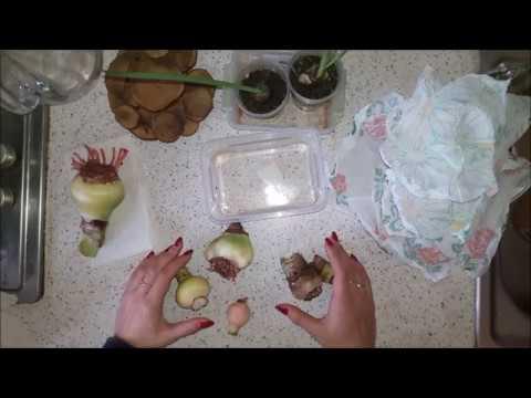 Амариллисы 02. Зимовка и луковицы с Aliexpress
