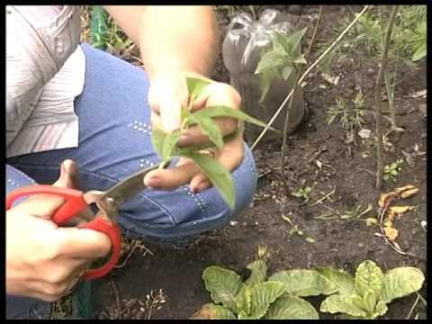 Дейция. Укоренение растений в саду