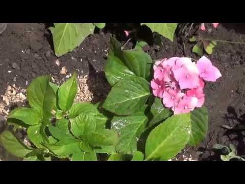 Гортензия крупнолистная, розовая.
