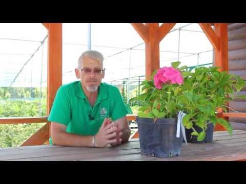 Как выращивать крупнолистную гортензию в горшке.