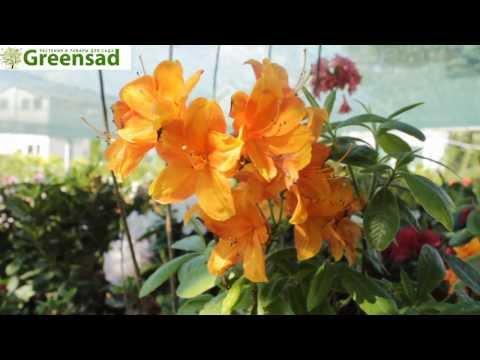 Азалия листопадная (крупноцветковая) - видео-обзор от Greensad