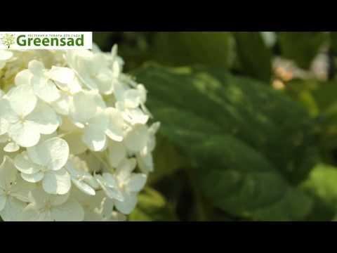 Гортензия Анабель - видео-обзор от Greensad