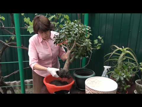 ДЕНЕЖНОЕ ДЕРЕВО Спасаем денежное дерево Подгнившие корни красулы Пересадка денежного дерева