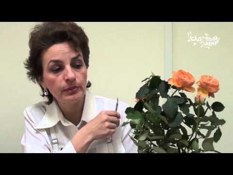 """Почему сохнут комнатные миниатюрные розы. Сайт """"Садовый мир"""""""