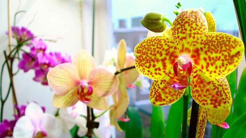 когда пересаживать орхидею фаленопсис