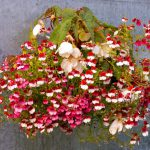 Немезия Мантия кардинала. Выращивание из семян. миниатюра