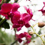 Орхидея Фаленопсис — уход в домашних условиях. миниатюра