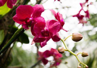 Орхидея Фаленопсис — уход в домашних условиях.