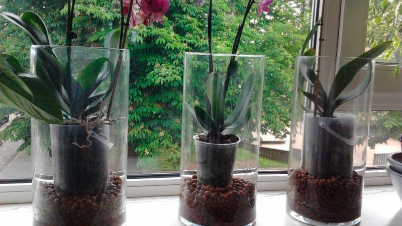 орхидея фаленопсис в прозрачных горшках
