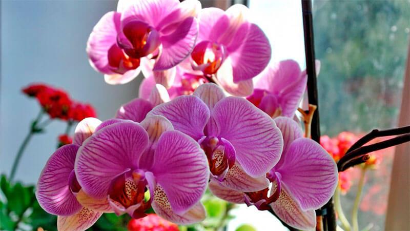 освещение и влажность для орхидеи фаленопсис