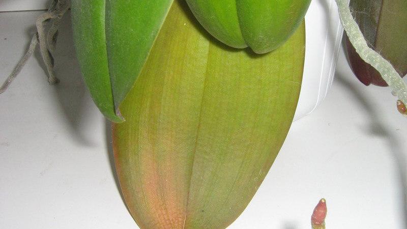 почему не цветут орхидеи фаленопсис