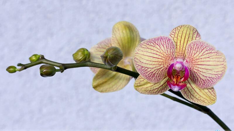 почему вянут цветы у орхидеи фаленопсис