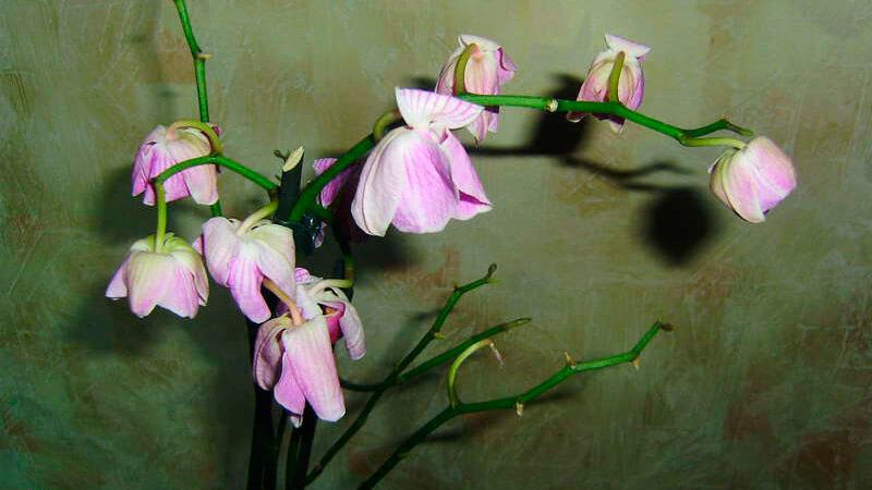 проблемы с орхидеей