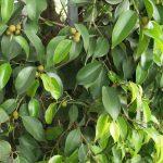 Почему фикус Бенджамина сбрасывает листья? миниатюра