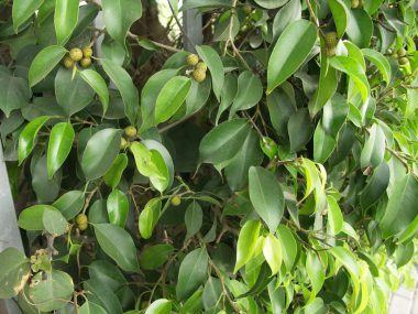 Почему фикус Бенджамина сбрасывает листья?