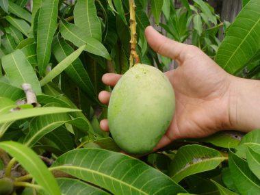 Как посадить манго в домашних условиях?