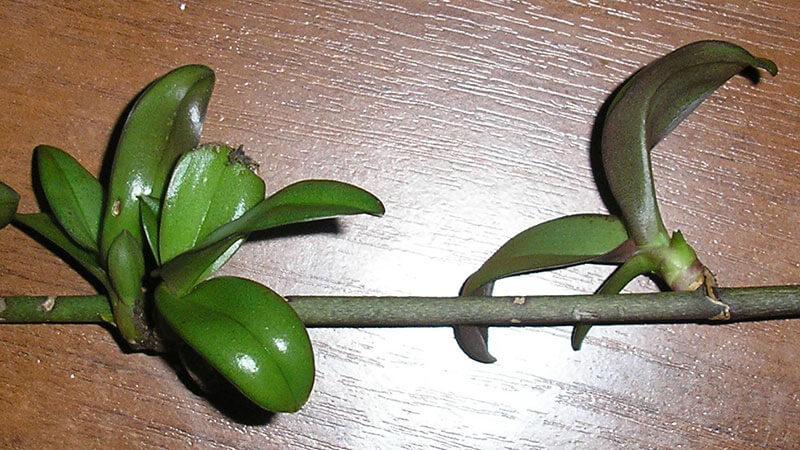 орхидея из отростка