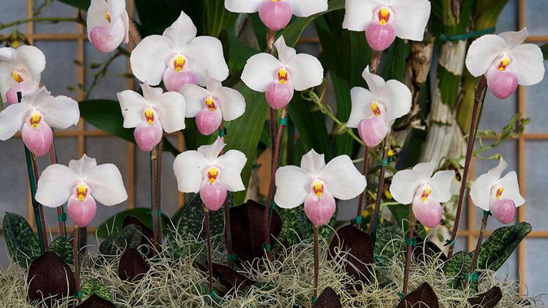 орхидя взрослая