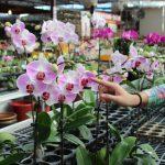 Размножение орхидеи в домашних условиях. миниатюра