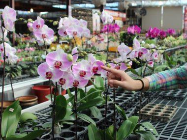 Размножение орхидеи в домашних условиях.