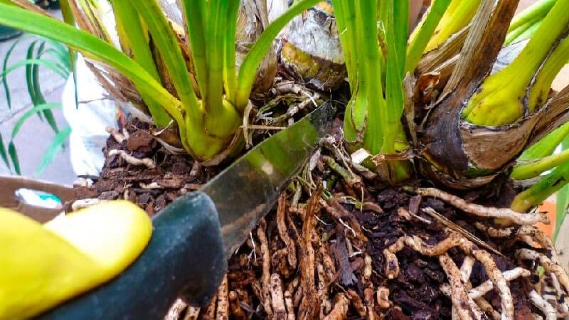 разрезаем ножом бульбы орхидей