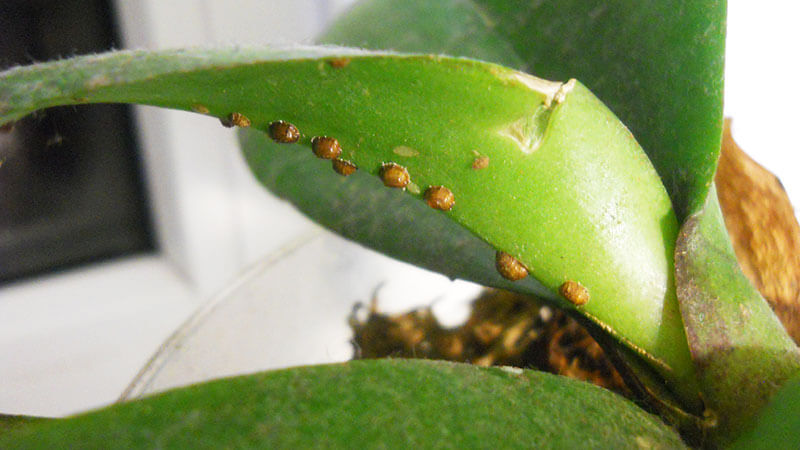 щитовка на орхидеи