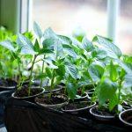 Посадка перца на рассаду. Выращивание из семян. миниатюра