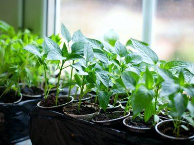 Посадка перца на рассаду. Выращивание из семян.
