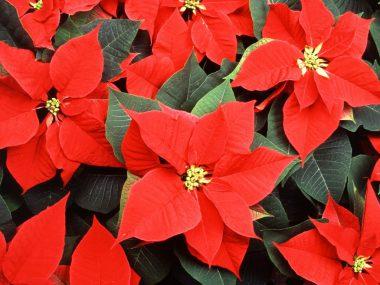 Цветок Рождественская звезда. Как ухаживать?