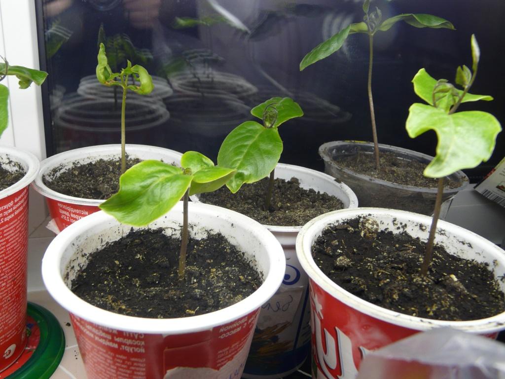 ростки кобеи в горшках