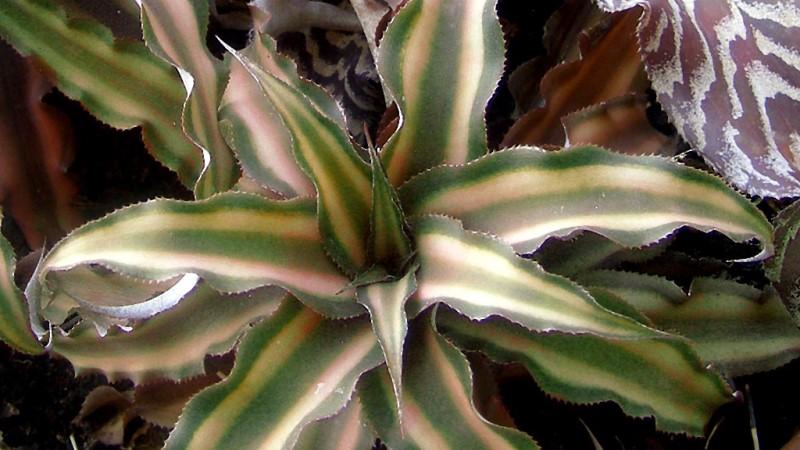 бромелия наземная криптантус