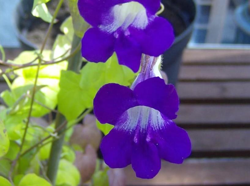 цветы азарина