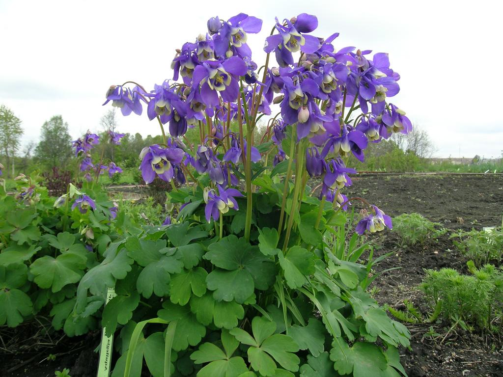 цветок аквилегия водосбор
