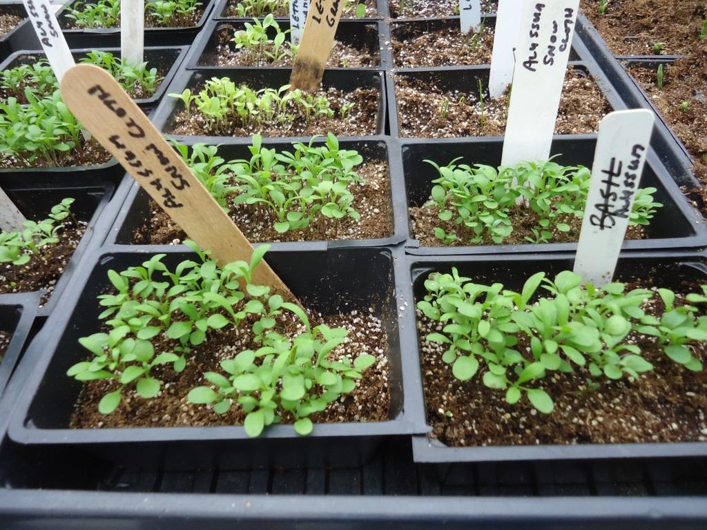 алиссум многолетний выращивание из семян