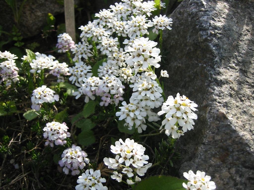 иберис корончатый