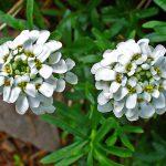 Иберис: выращивание из семян. миниатюра